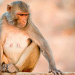 Mono ladrón pensativo. ©Shutterstock