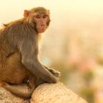 Mono ladrón sentado. ©Shutterstock