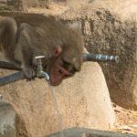 Mono ladrón tomando agua. ©Shutterstock