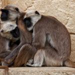 Primates, India. ©Pixabay