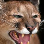 Puma furioso. ©Shutterstock