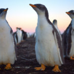 Atardecer con pingüinos gentoo