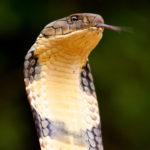 Cabeza de cobra real 3
