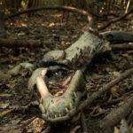 Cadáver de caimán