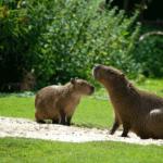 Capibaras o Carpinchos. ©Pixabay