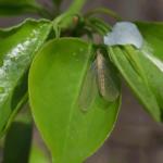 Efímera o mayflies. ©Pixabay