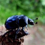 Escarabajo pelotero. ©Pixabay