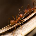 Hormigas guerreras. ©Shutterstock