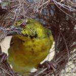 Pájaros tejedores. ©Pixabay