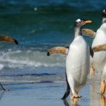Pingüinos-gentoo
