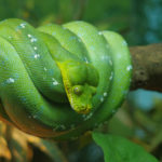 Serpiente verde de árbol. ©Pixabay