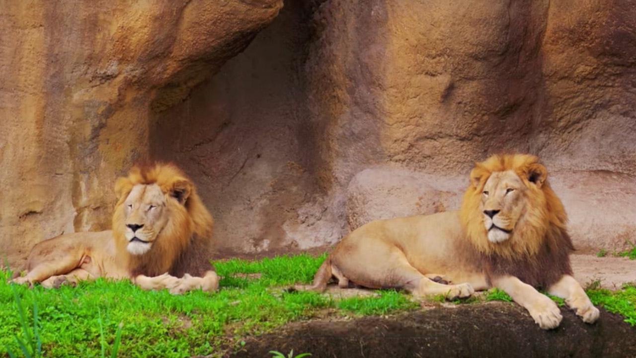 10 datos curiosos sobre leones