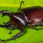 Escarabajo rinoceronte sobre hoja verde. ©Pixabay