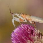 Mantis de hoja seca. ©Shutterstock
