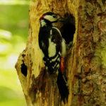 Pájaro carpintero. ©Pixabay