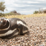 Pingüino de Magallanes 1