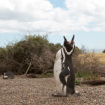 Pingüino de Magallanes 2