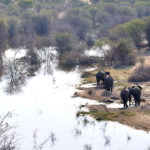 Elefantes africanos 1