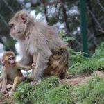 Mono rhesus con hijo. ©Pixabay