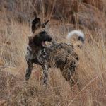 Perro salvaje del Áfrina en pasto seco. ©Pixabay