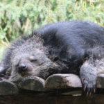 Bearcat dormido. ©Pixabay