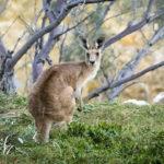 Canguro australiano. ©Pixabay