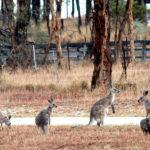 Canguros jugando.©Pixabay