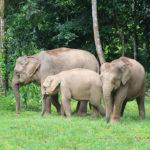Elefantes de Borneo. ©Shutterstock