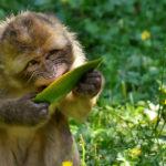 Macaco comiendo fruta. ©Pixabay