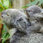 Mamá koala con bebé. ©Pixabay