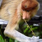 Mono probóscide. ©Pixabay