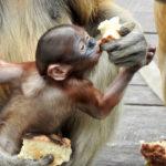 Monos de Borneo ©Pixabay