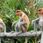 Monos probóscide. ©Pixabay