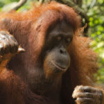 Orangután. ©Pixabay