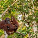 Orangutanes en un árbol. ©Pixabay