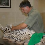 13 Johan checando si el leopardo está embarazado. ©Rock Wallaby Productions