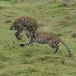 3 Leopardos saltando y jugando. ©Rock Wallaby Productions