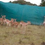 5 Impalas en refugio. ©Rock Wallaby Productions