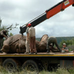 5 preparando elefante para trasladarlo. ©Rock Wallaby Productions