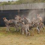 6 Cebras en recinto cerrado. ©Rock Wallaby Productions
