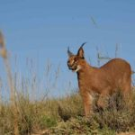 8 Caracal observando. ©Rock Wallaby Productions