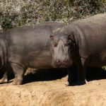 9 Hipopótamos fuera del agua. ©Rock Wallaby Productions