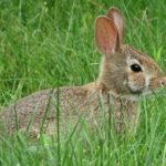 Conejo atento ©Pixabay