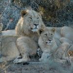 Familia de leones bajo un árbol. ©Rock Wallaby Productions
