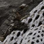 Iguana, Madagascar. ©Pixabay