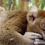 Lemur descansando. ©Pixabay
