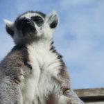 Lemur y cielo azul. ©Pixabay