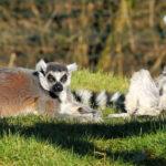 Lemures tomando el sol. ©Pixabay