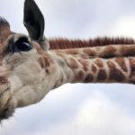 Cabeza de jirafa mirando a cámara. ©John Downer Productions