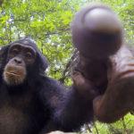 Chimpancé joven apuntando a la lente. ©John Downer Productions